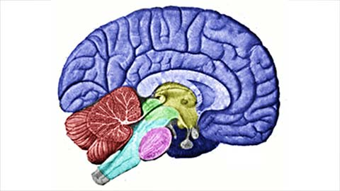 Drawing of brain and brain stem